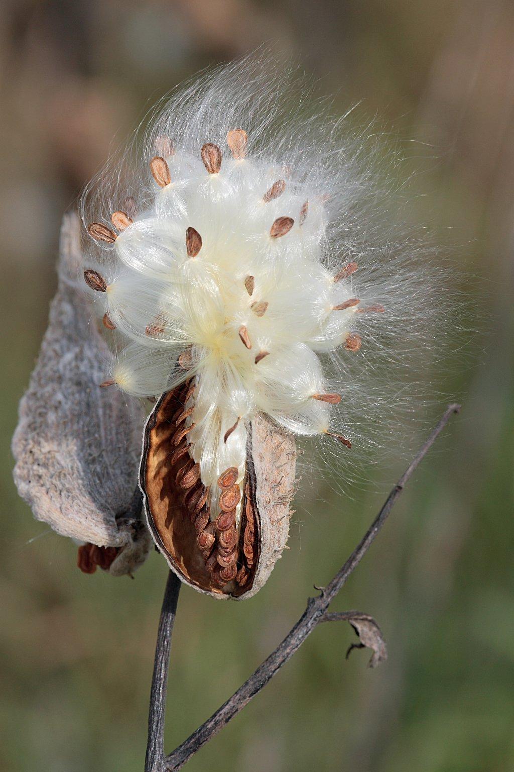 Original 1490028854 milkweed dubbing