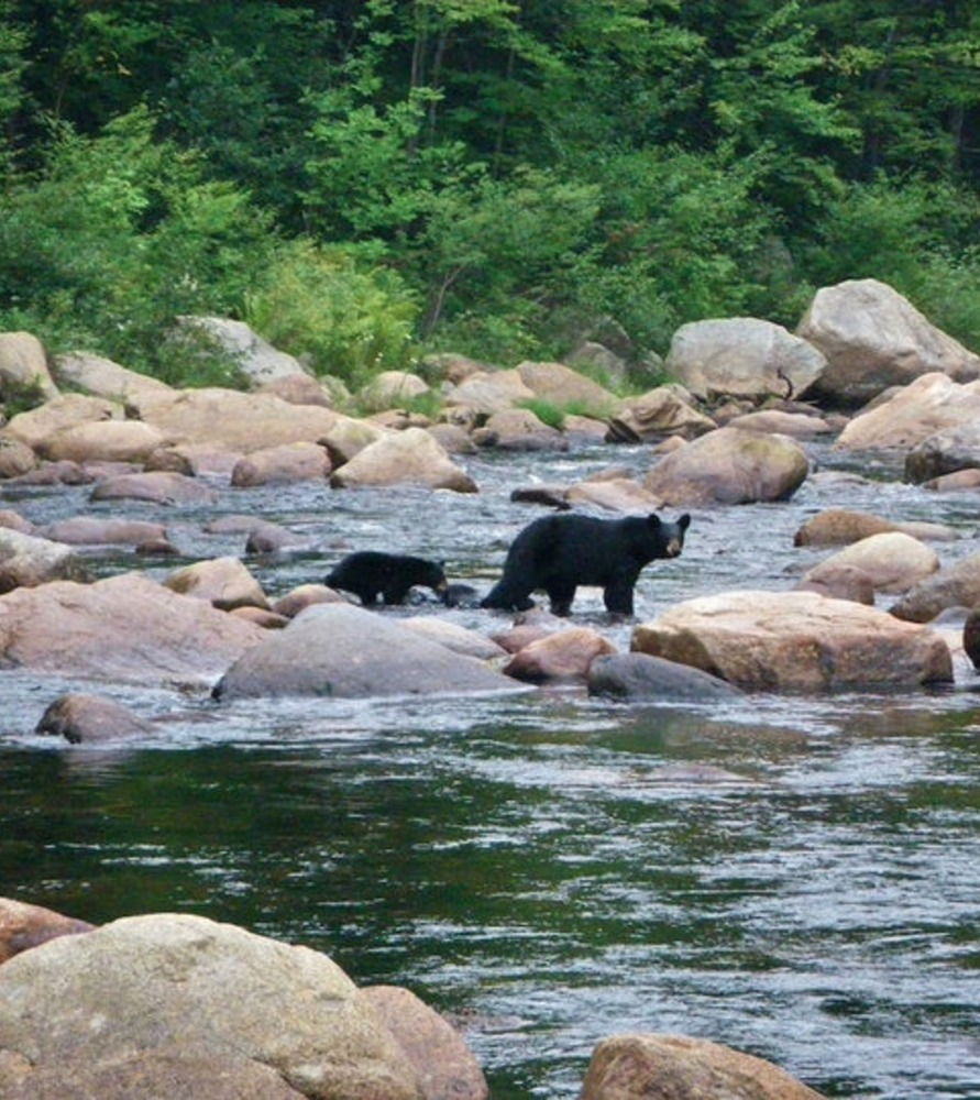 Article 1490029904 river bears