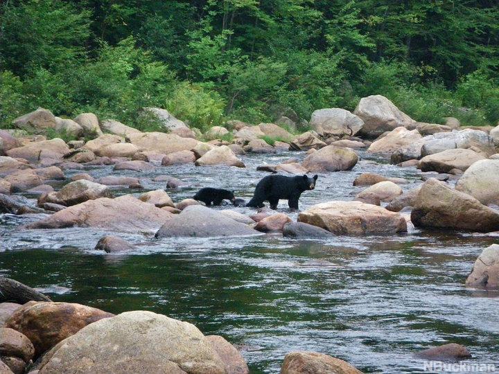 Original 1490029904 river bears