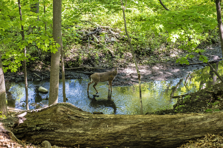 Original 1490030763 deer